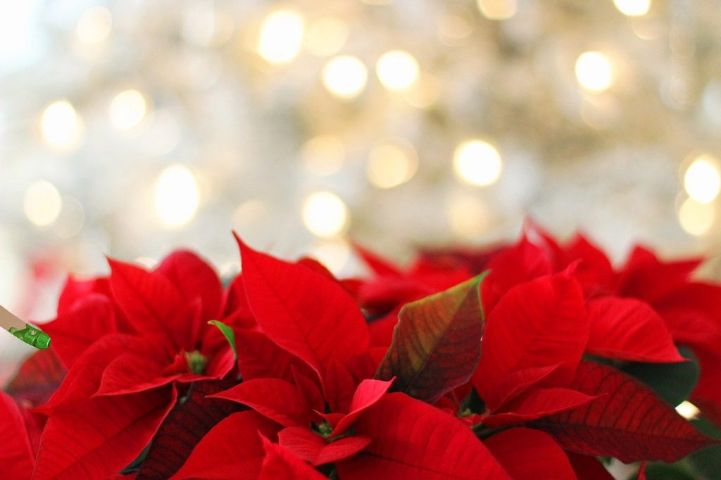 Simple ways to prolong the life of poinsettias